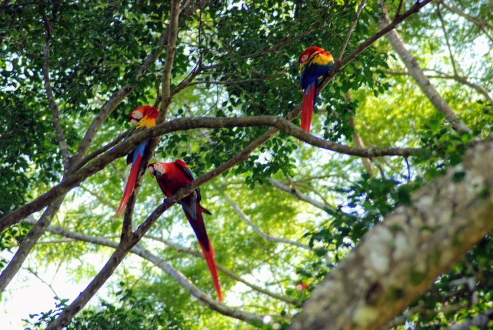 Scarlet Macaws on the Nicoya Peninsula
