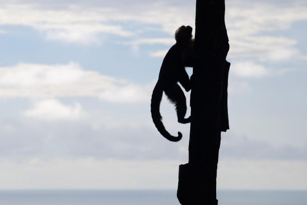 White-faced monkey in Manuel Antonio